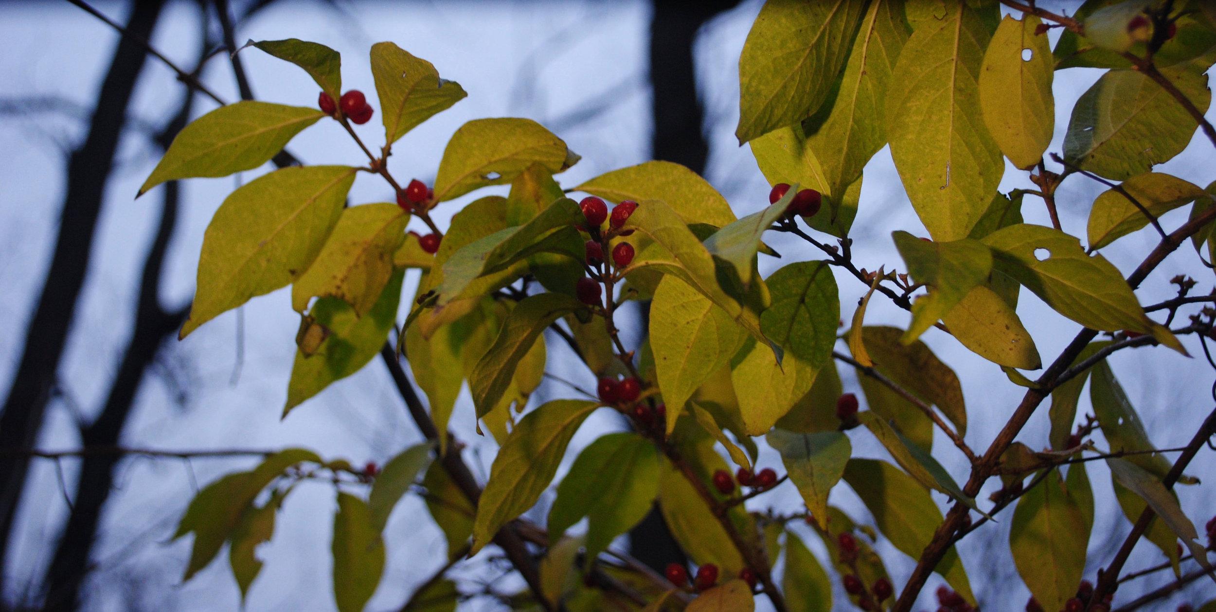 EllaNadeau-LeavesAndBerries.jpg