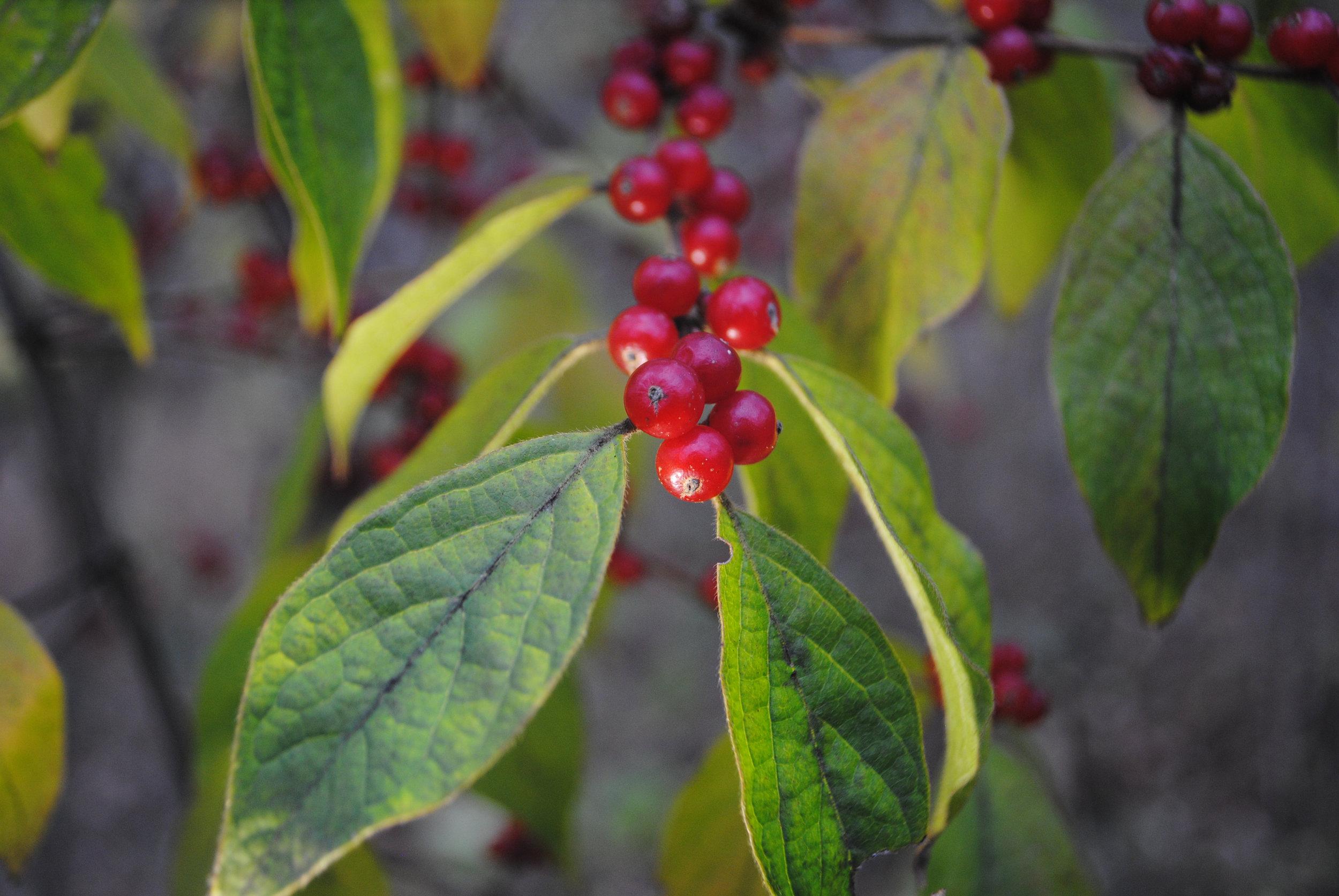 EllaNadeau-Berries.jpg