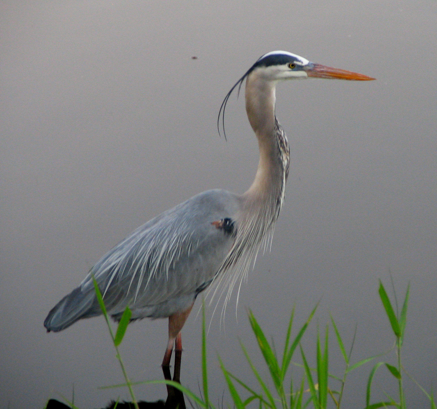 Palmer Lake is home to a  Great Blue Heron  that is frequently seen on the dams or lake shores.