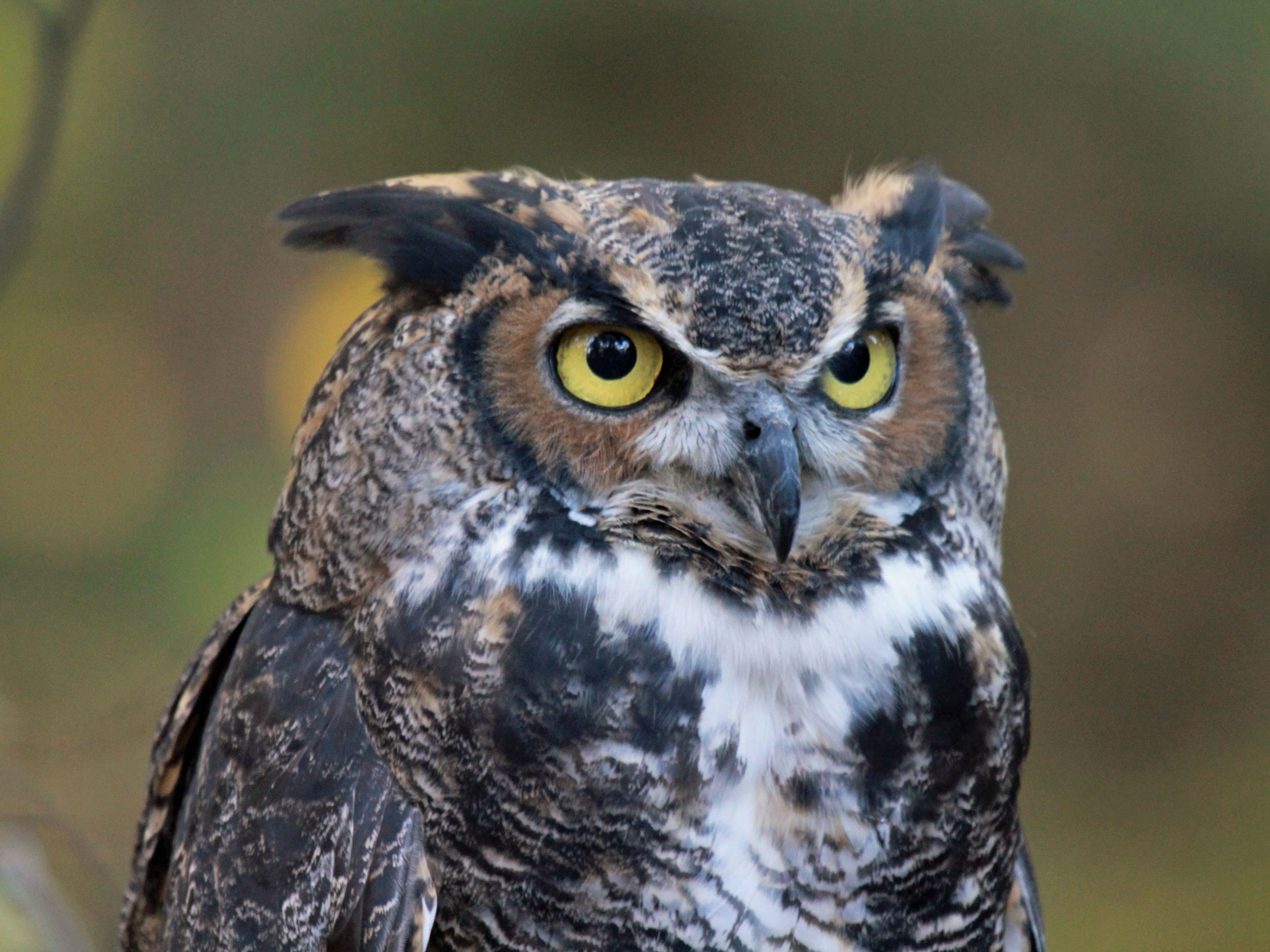 Great Horned Owls  are elusive, but can be heard at dusk and dawn in the pine forest.