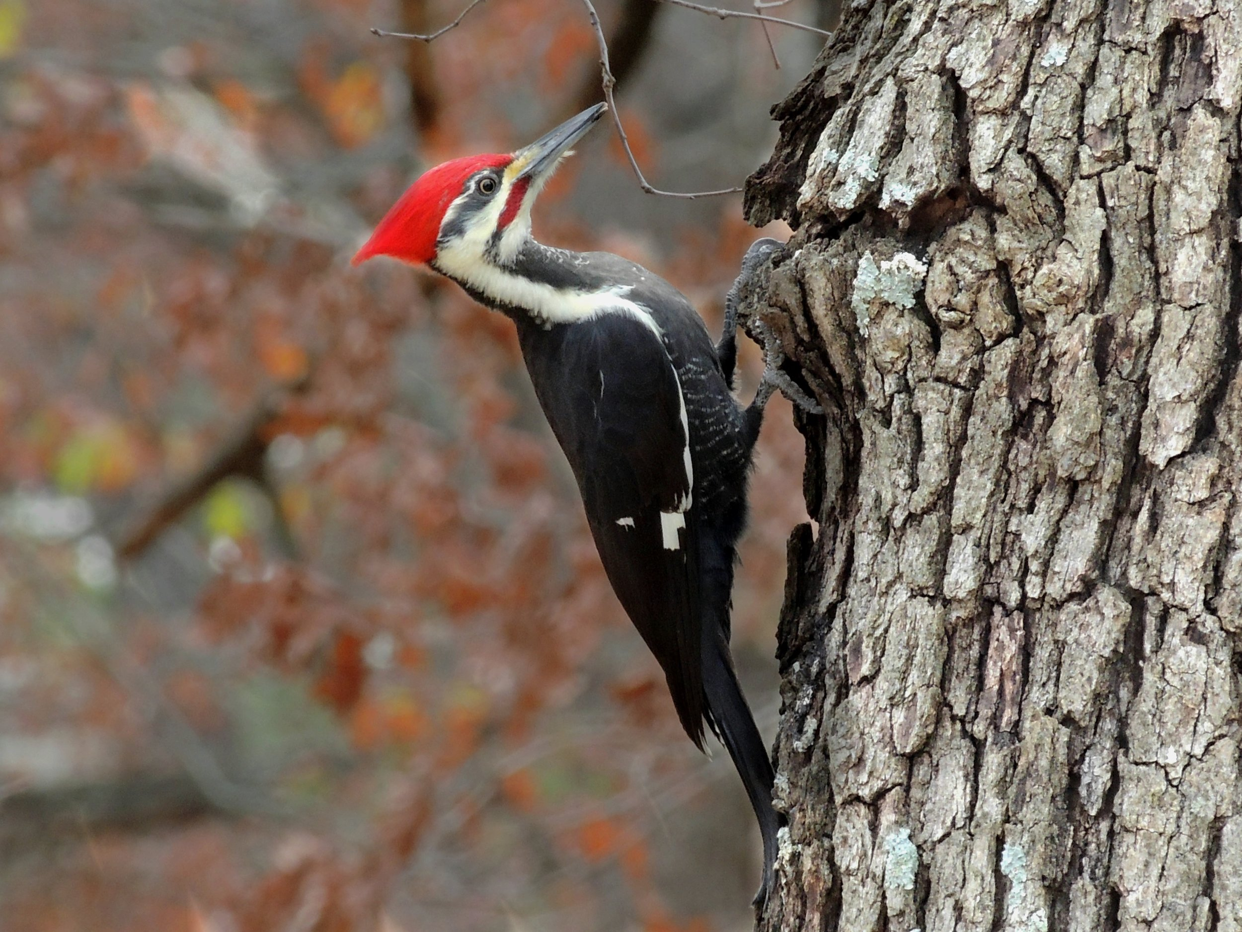 Pileated Woodpeckers  often sound like a hammer hitting a tree when searching for food.  They can be found in Witherspoon Woods in large, dead trees.