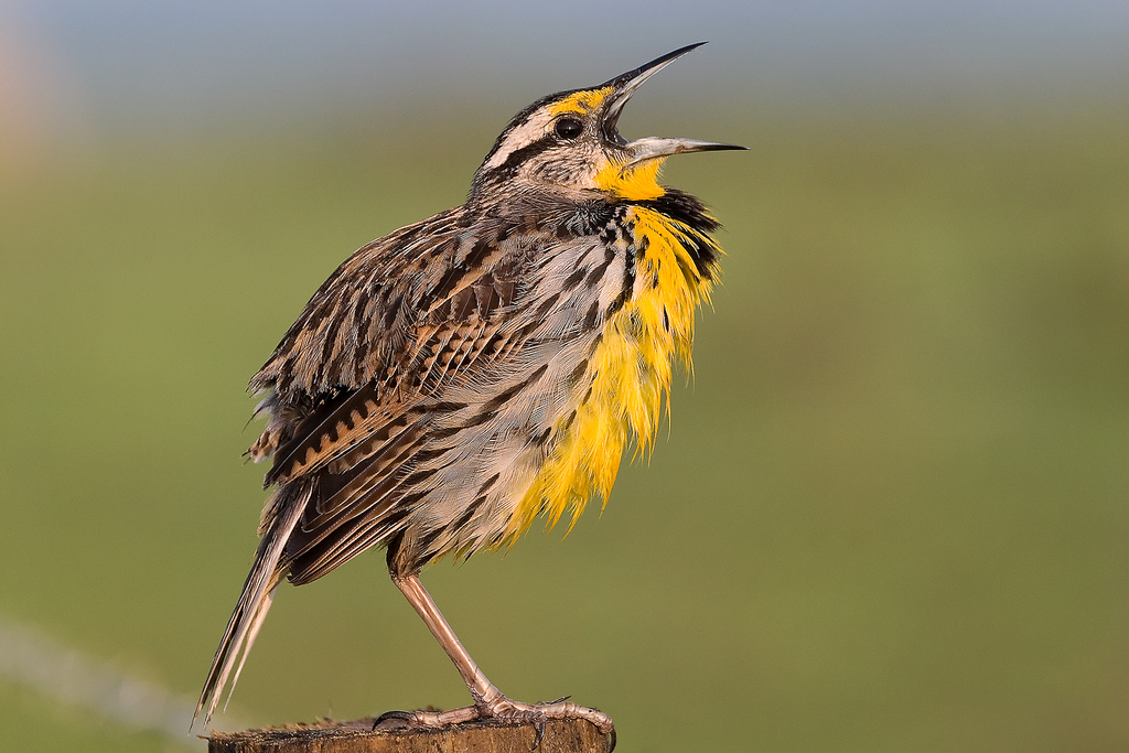 Eastern Meadowlarks  can be found nesting on the ground of large meadows, such as Tusculum.