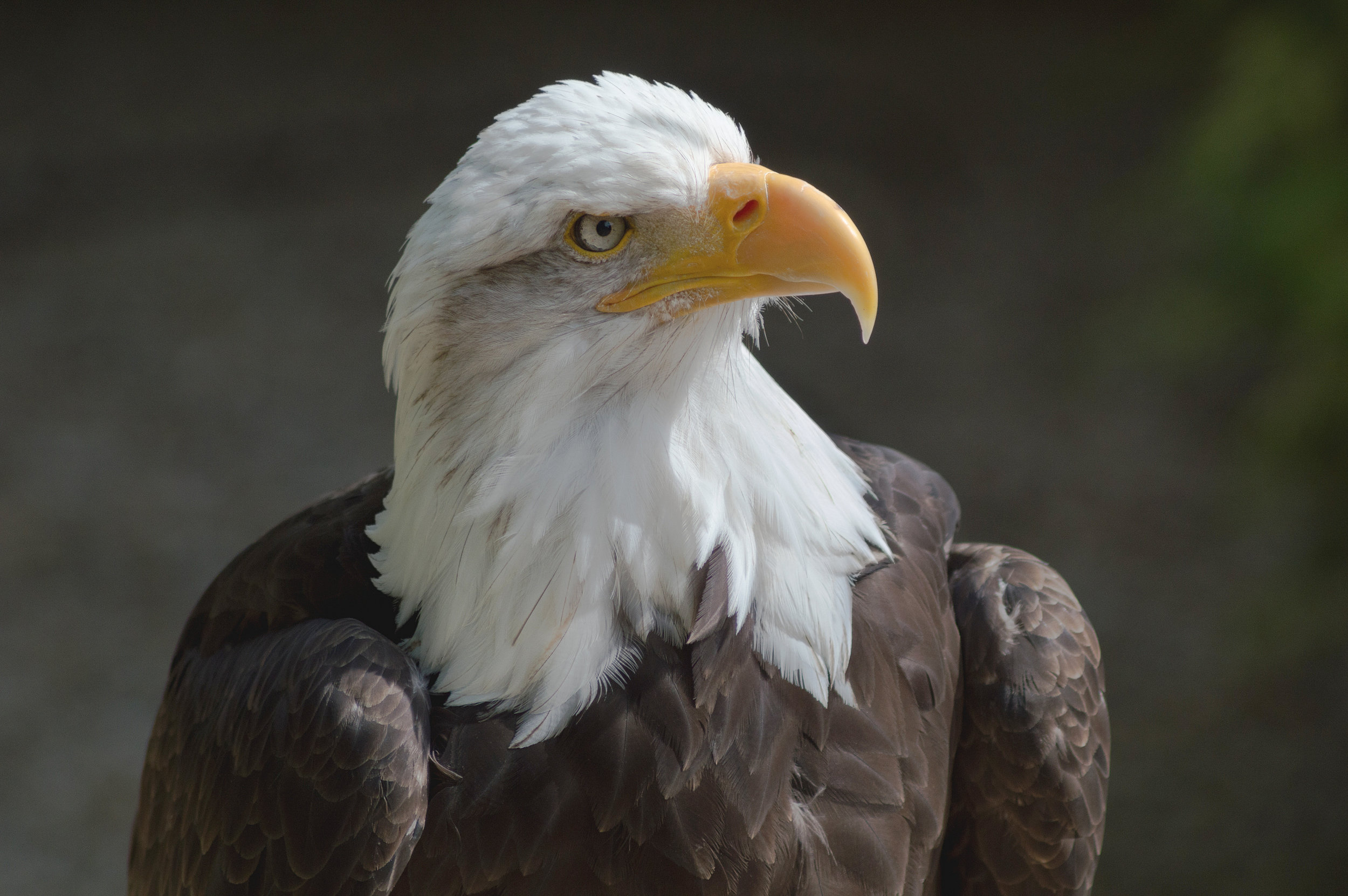 Although there is no  Bald Eagle  nest at Mountain Lakes, there have been several sightings of eagles flying over.