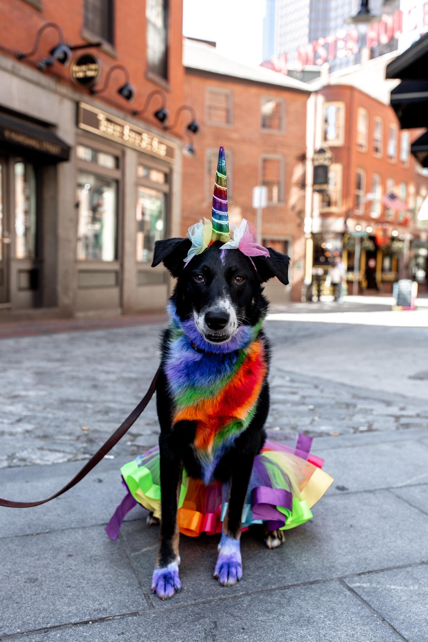 boston pride parade dog