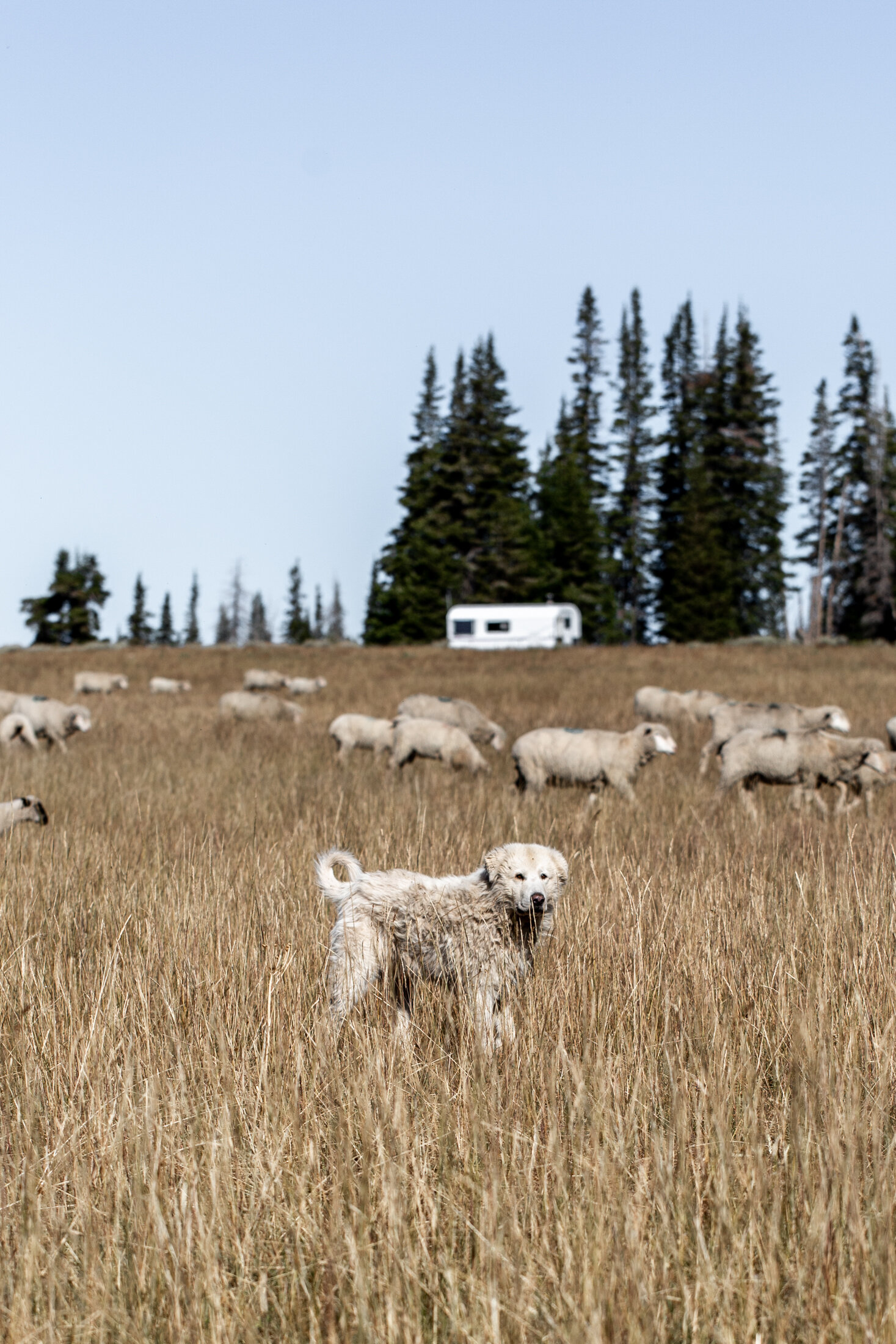 Weekend in Park City, Utah with American Lamb guard dog