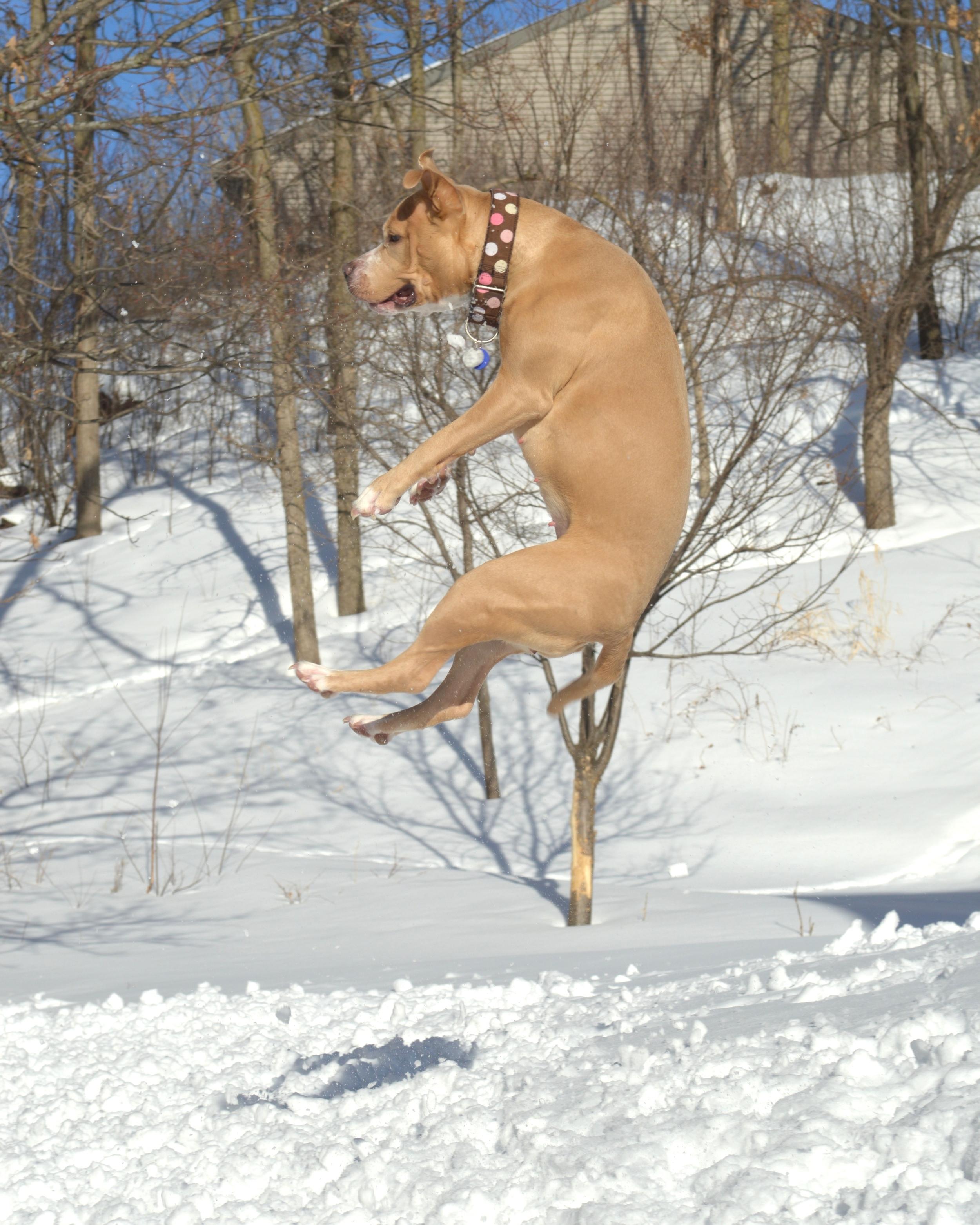 Dog training Pit Bull