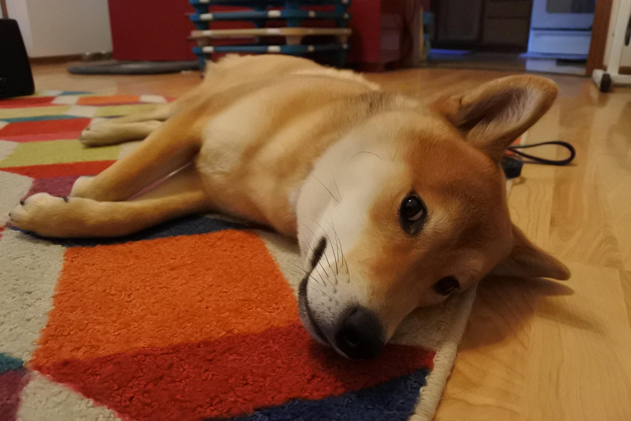 Shiba Inu Dog Training St Paul MN