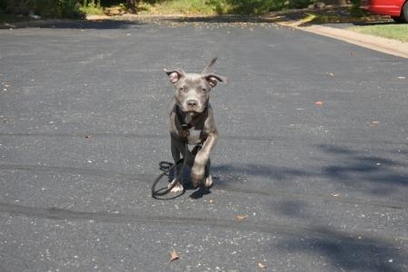 Vinca - funtastic k9 training foster Minnesota Pitbull Rescue