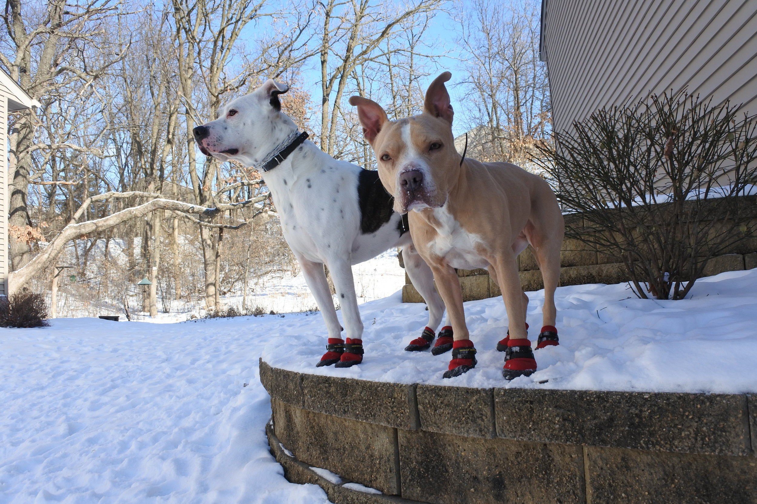 Dog to dog aggression - pit bull