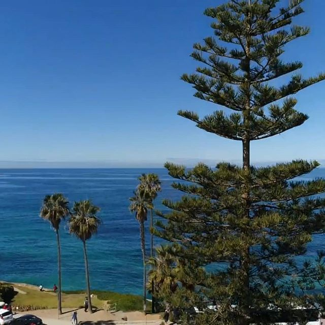 Performing an #arborist inspection today in La Jolla.  This project will require relocating this tree for a museum expansion.  #drone