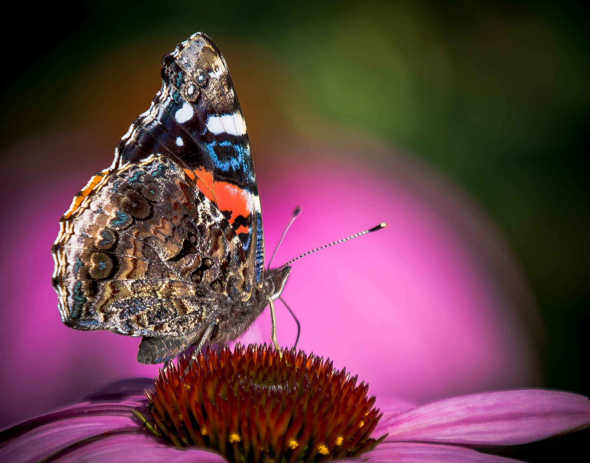 Red Admiral Visits our Garden