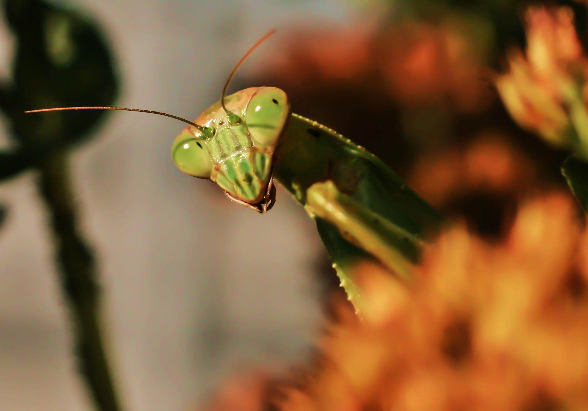 Peek a Boo Mantis
