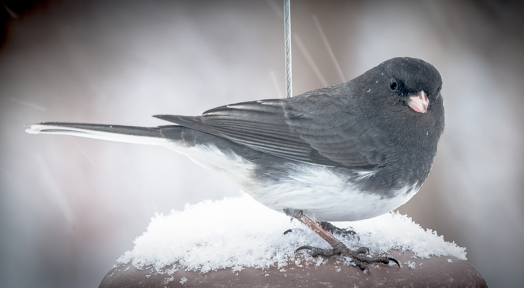 Junco in the Back Garden