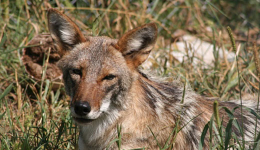 Adult coyote at WSC