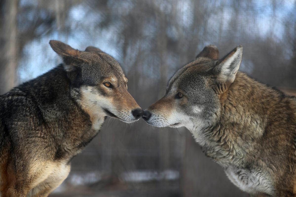 red-wolf-behavior-mn-wsc-2015.jpg