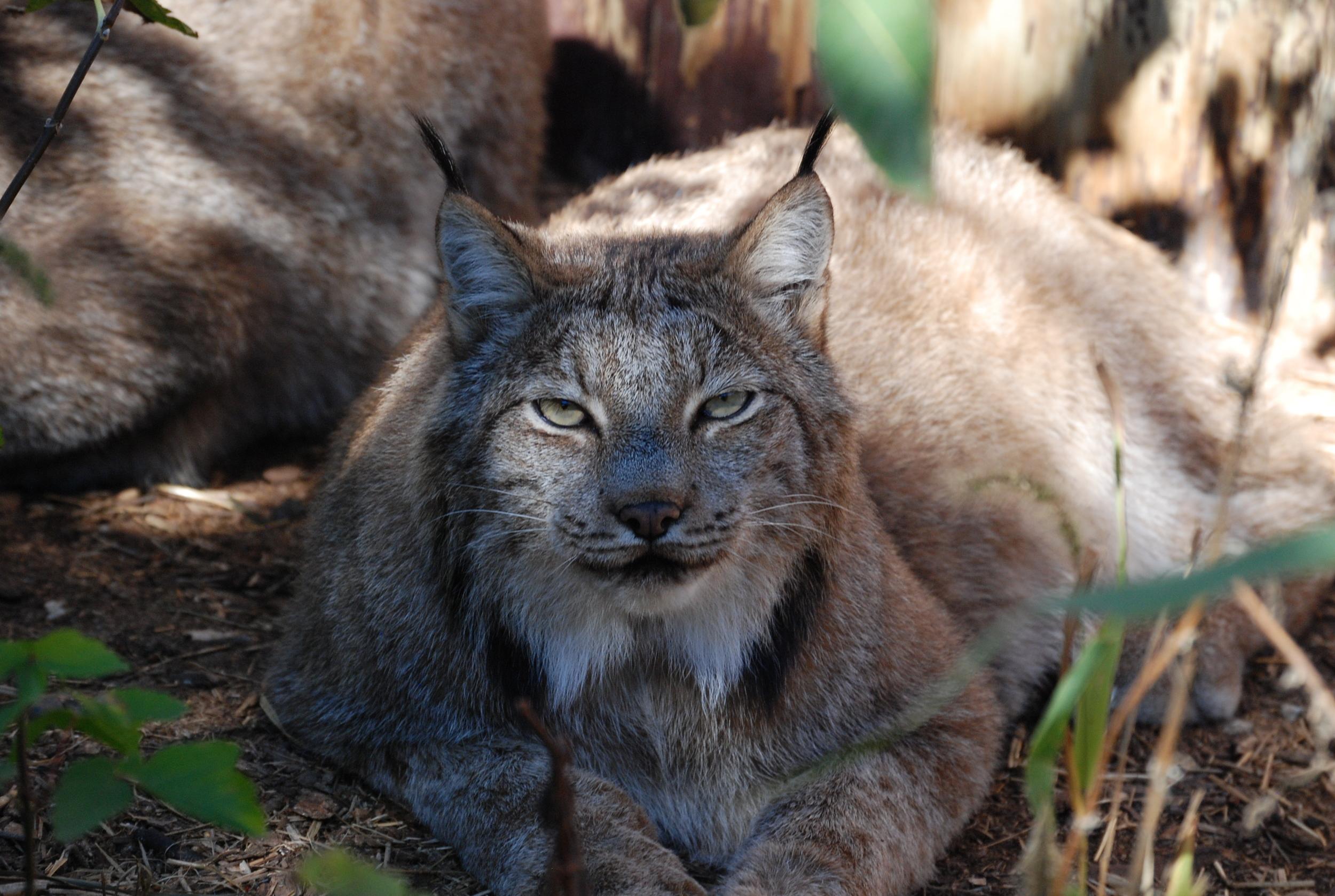 Lynx-wsc-minnesota-1.JPG