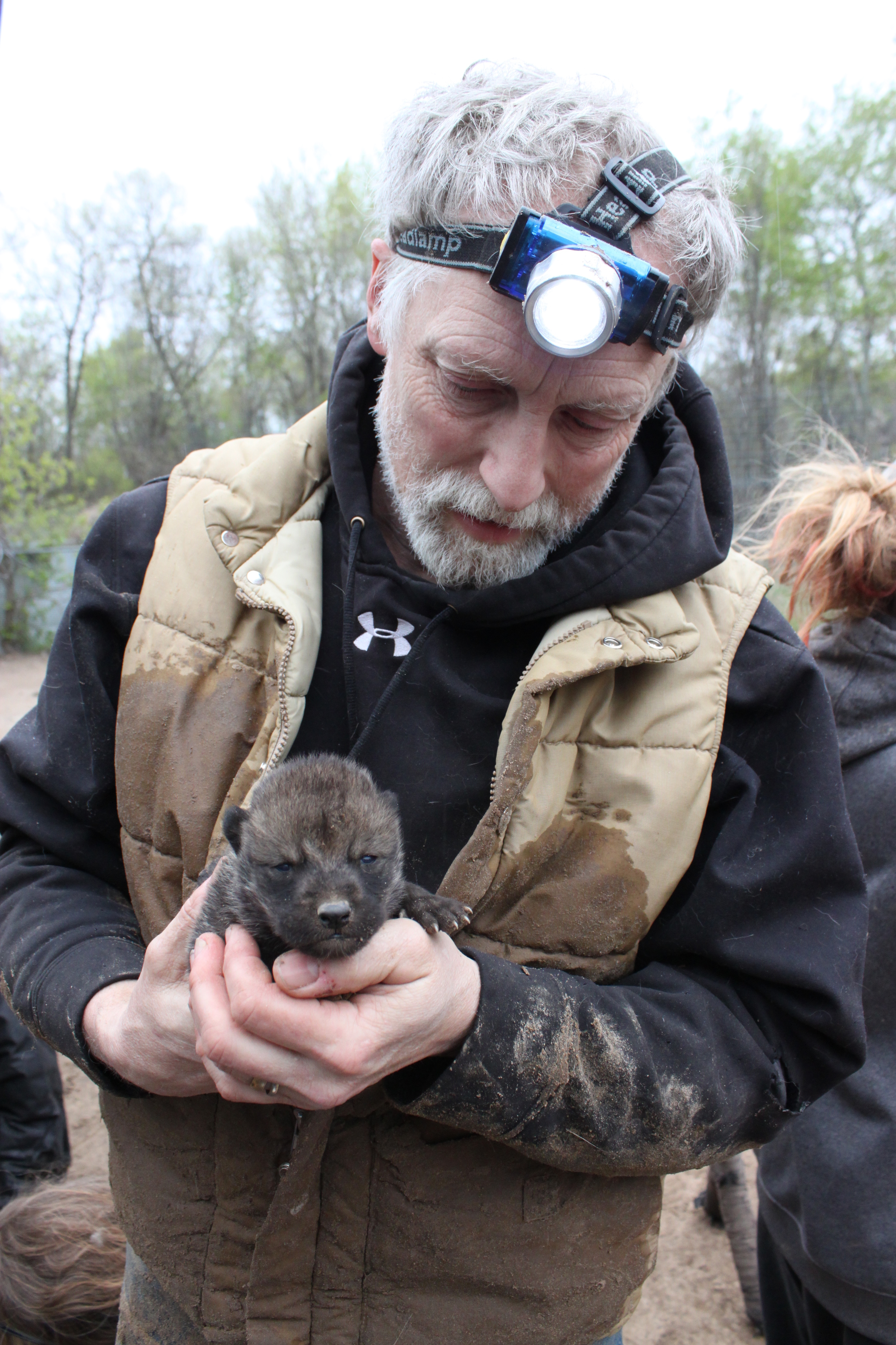 Mark Beckel, co-founder of WSC, holds one of the wolf pups moments after being removed from the den.