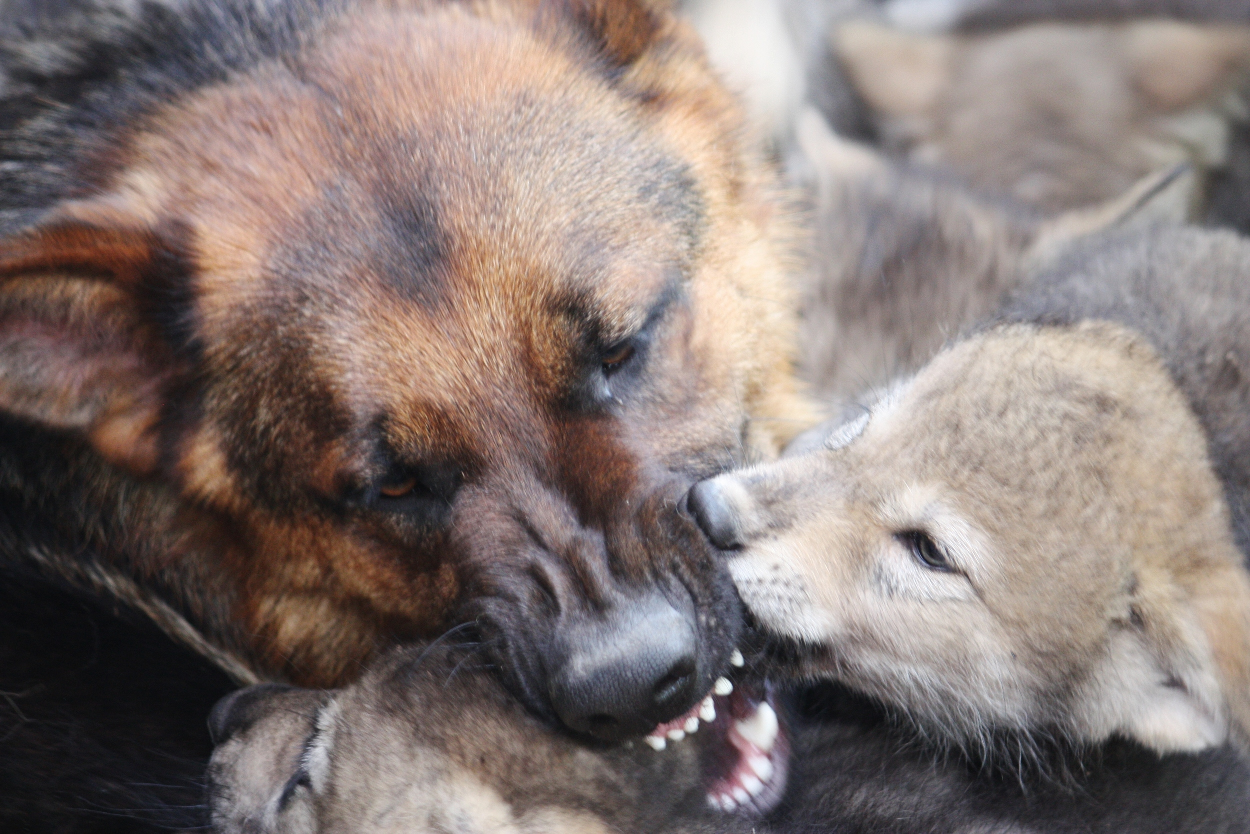 This photo looks fierce, but actually depicts some extremely gentle, critical correction by pup nanny Oliver. He is not biting down, but carefully taking pup muzzles into his mouth to teach them about calm greeting and subtle dominance. We see adult wolves exhibit this same behavior towards pups, and cannot recreate it as humans. We are so grateful that Oliver can give them the guidance they need!