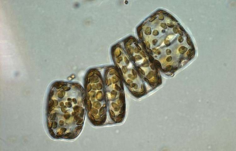 Hard/drive♢phytoplankton_oceanbacteri.Millicent_Hawk
