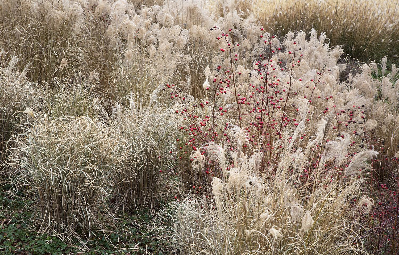 Grasses 6953 3.jpg