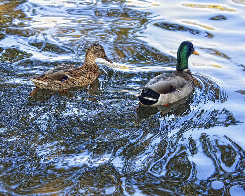 Two Ducks.jpg