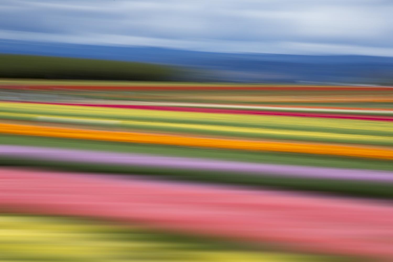 Tulips 5508.jpg