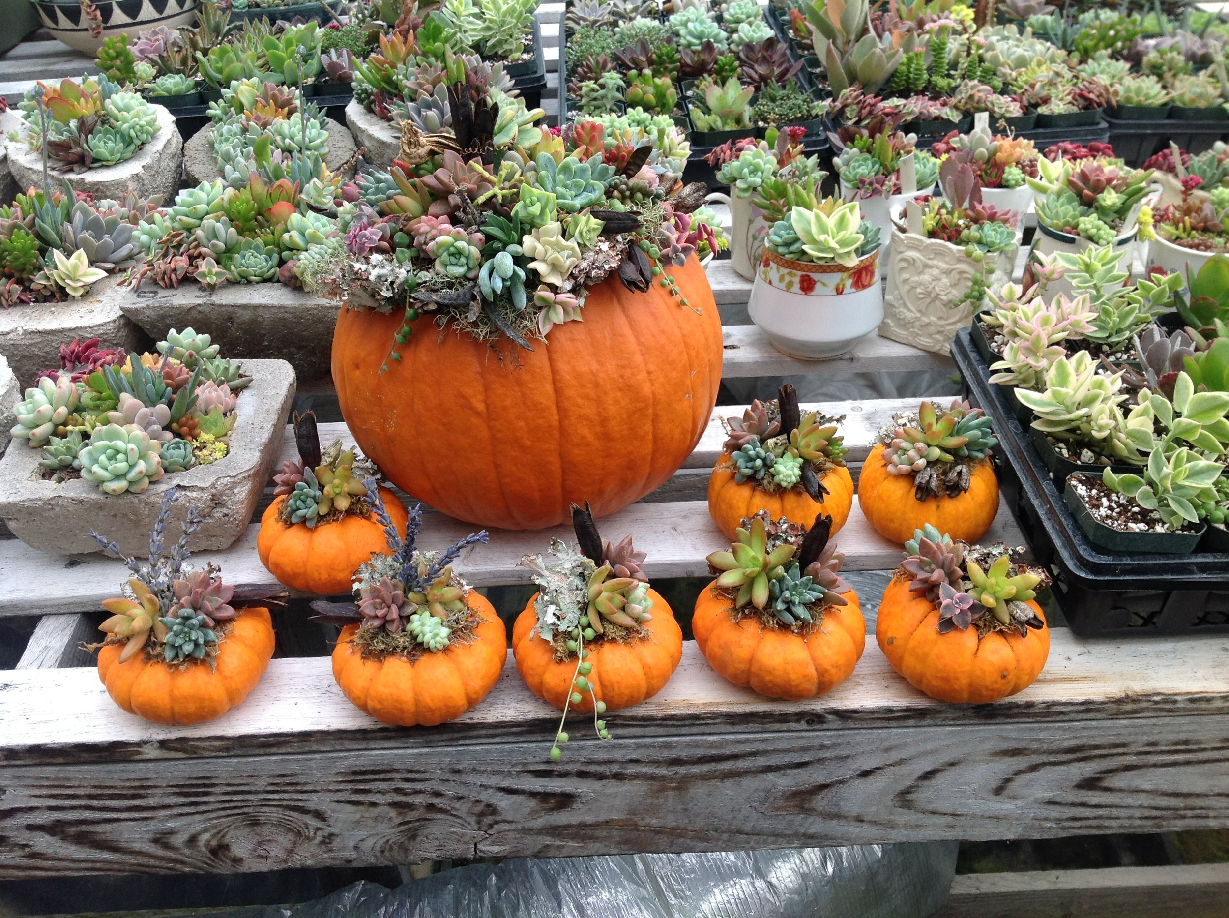 Succulent Pumpkins!!! - I don't know about you, but I love fall and what could be better than combining pumpkins and succulents??? I may even have to bring chocolate to this class so that we may all enter Nirvana for a moment! If you haven't guessed, this will be a class on how to plant succulents right on top of a pumpkin for a lovely and unique fall arrangement. These arrangements will last through the fall and make wonderful place settings for any holiday table. We will use small pumpkins in class but any size works well. This class would be great for children, 8 years old and up, as the process is quite simple but the outcome always stunning.When: October 12th 10am to 11amCost: $15 for gourd size; $25 for a pie pumpkin