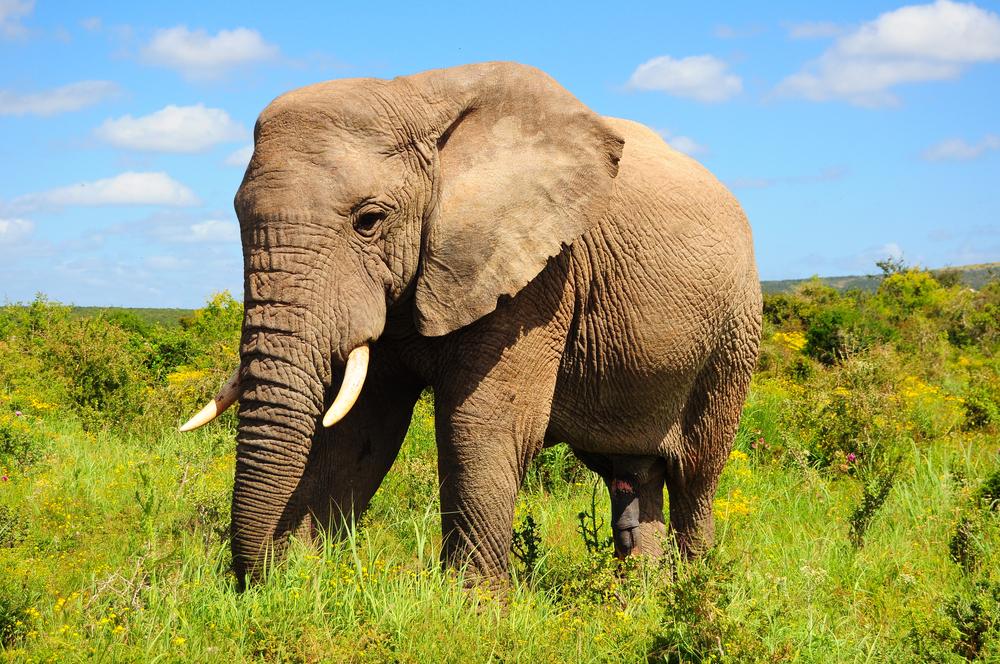 L'elefante vuole bere il caffè.