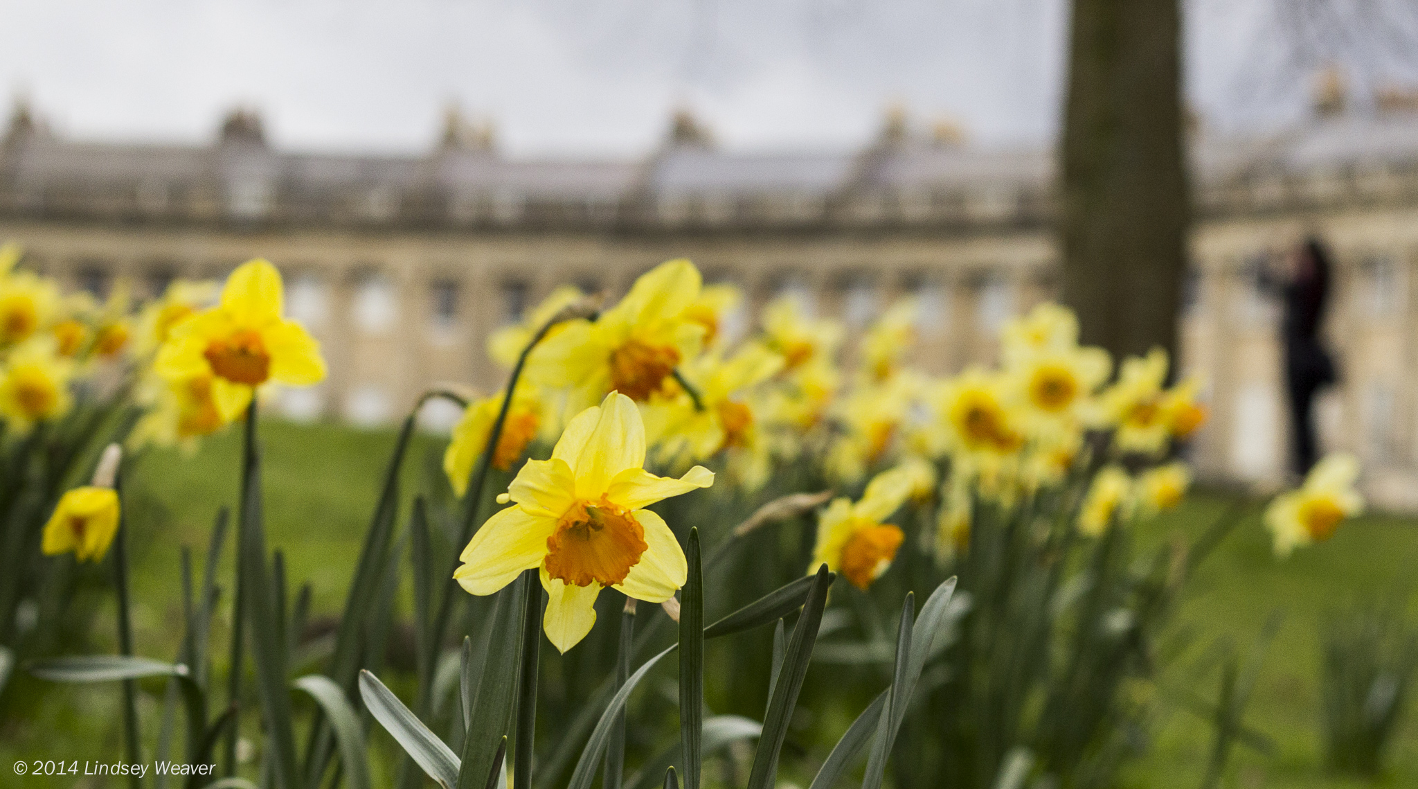 Royal Crescent daffodils