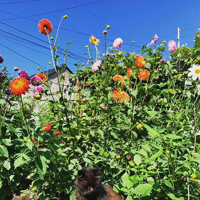 Home. | Everett, WA (22 August 2019) ||| #everettwa #homesweethome #solsticecat #solschris #dahlias #firsttimedahliagardener #backyardgarden #larkfilter #ThisIsEverett #e❤️erett #PNW #PacificNorthwest #XPNW #pnwconnect #pnwonderland