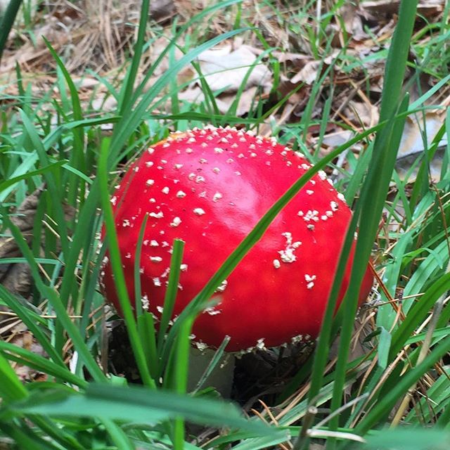 Flashback to toadstool season earlier this year. I wonder where the fairies🧚♀️ go once their houses disappear...?🤷🏼♀️