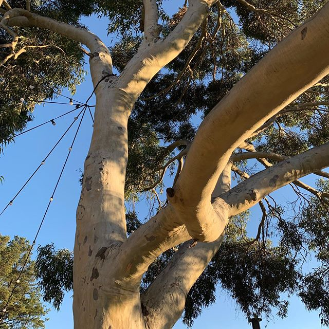 Love the gum trees in Red Hill especially this one next to @manylittlebarandbistro . Perfect spot for a wine while the sun is setting!