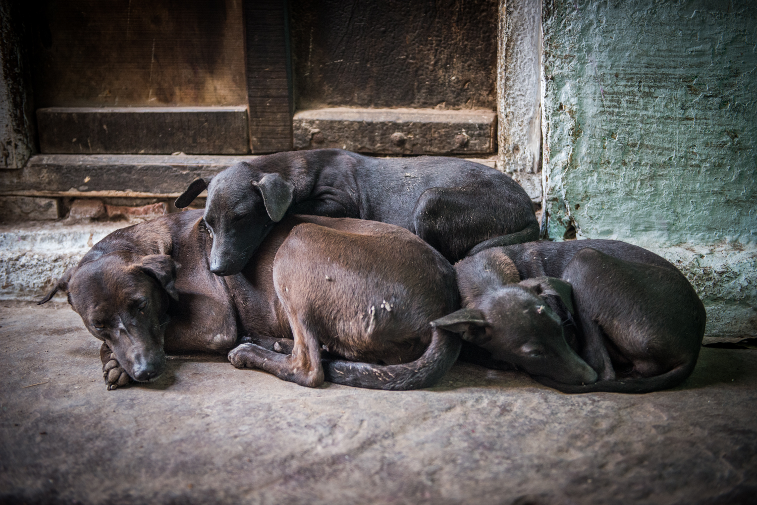 A family of dogs nestle close together during a heavy rainfall - Varanasi, India.
