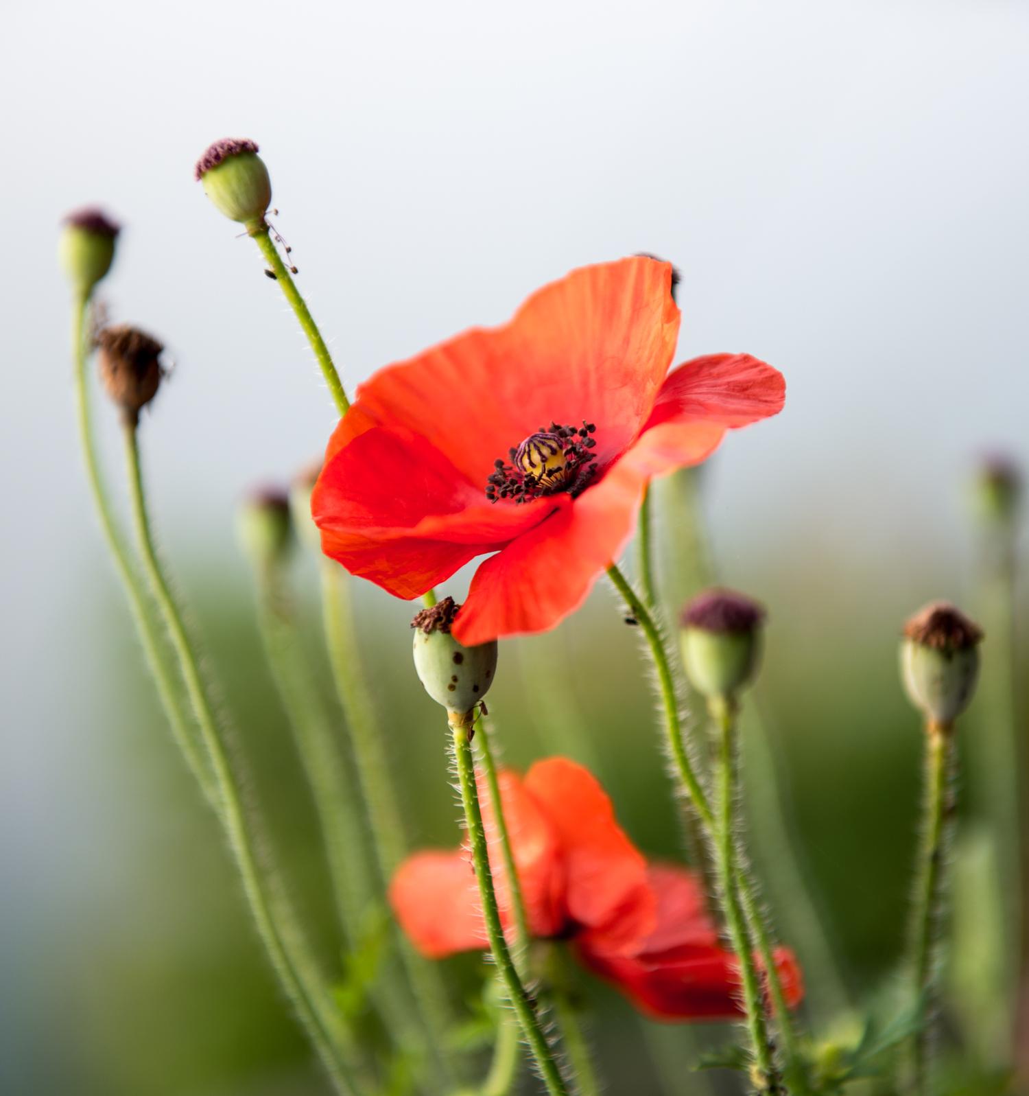 Flowers in Nepal