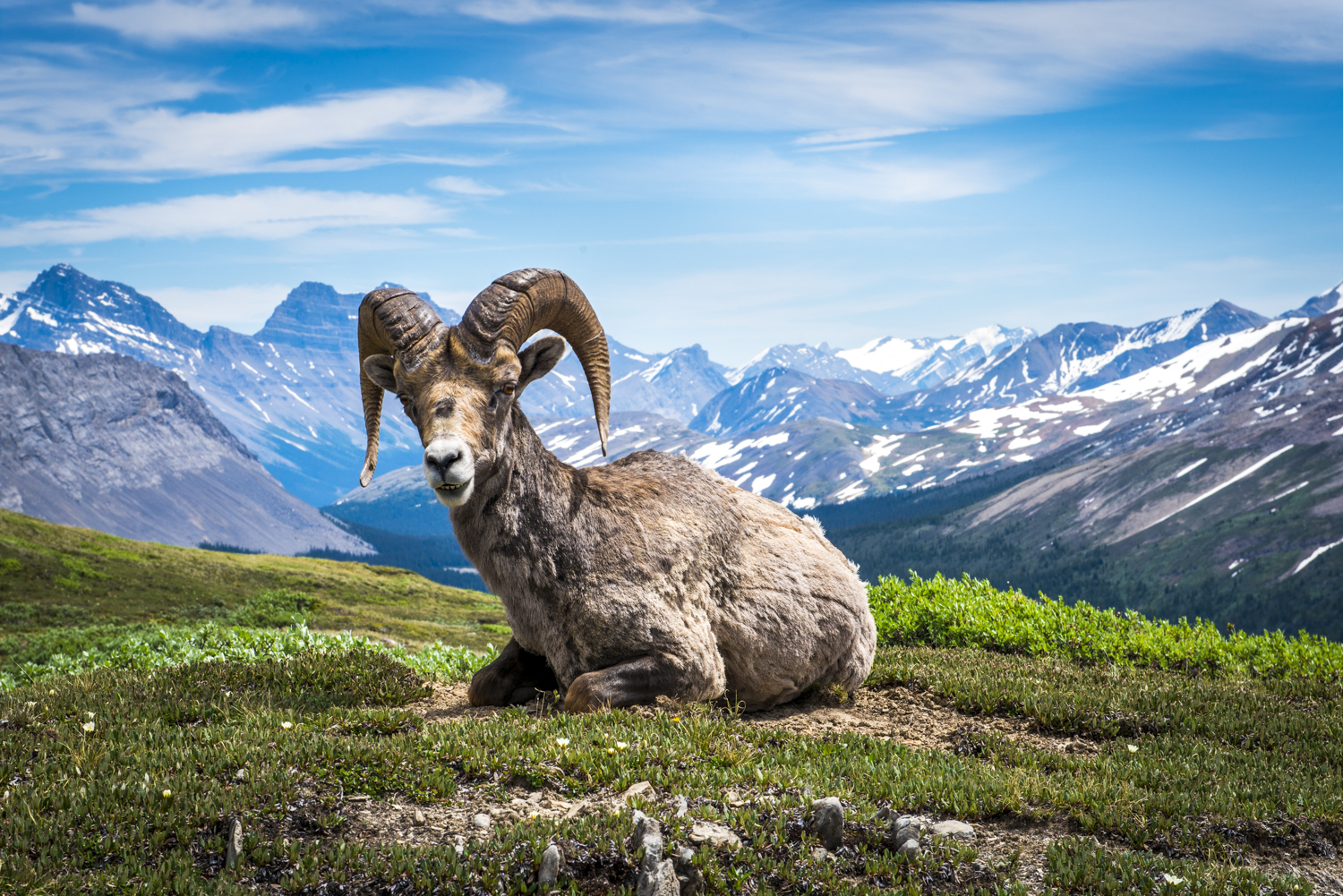 A mountain goat rests in the meadows of Mount Wilcox.