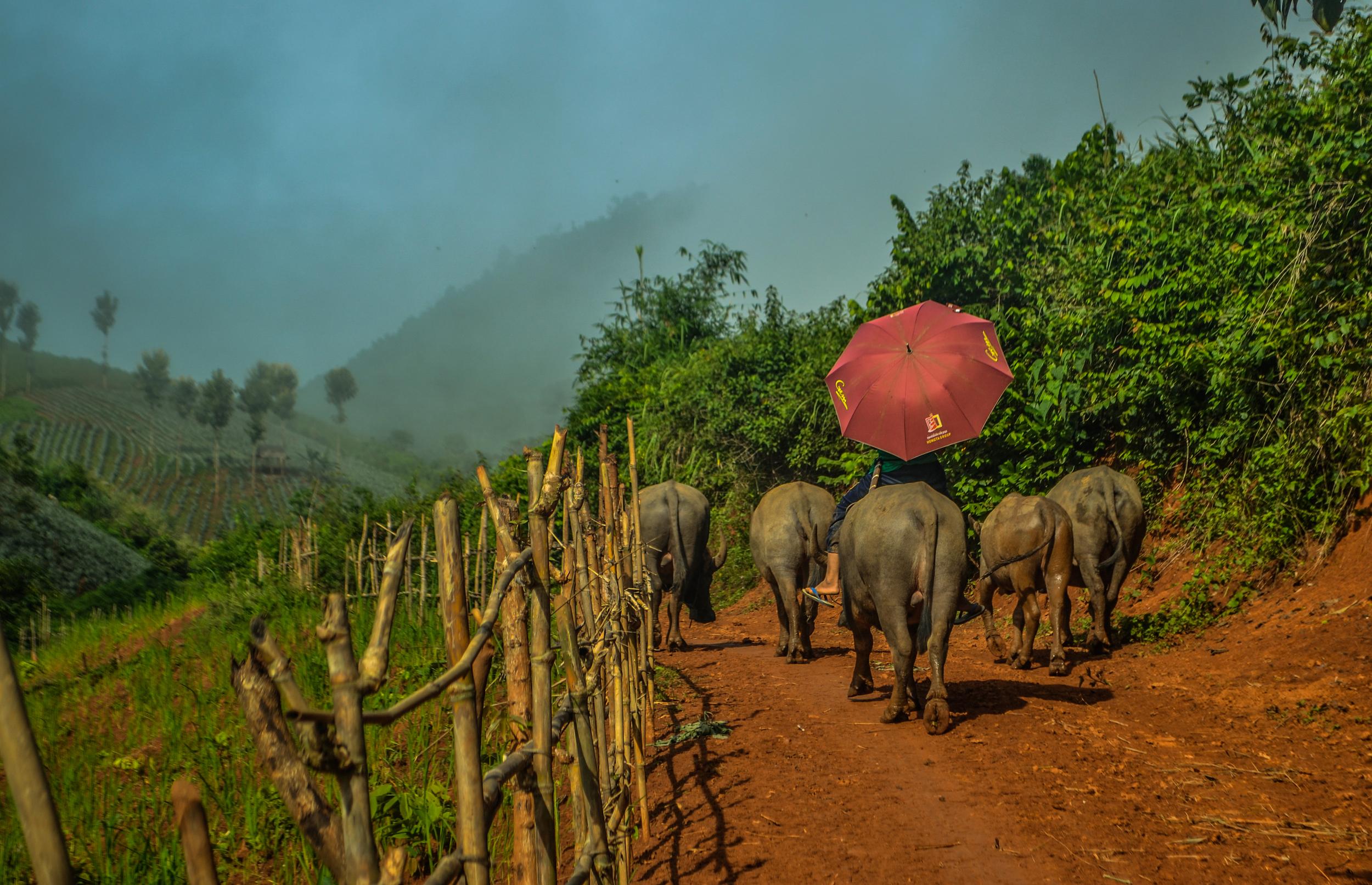 Water buffalo. Laos