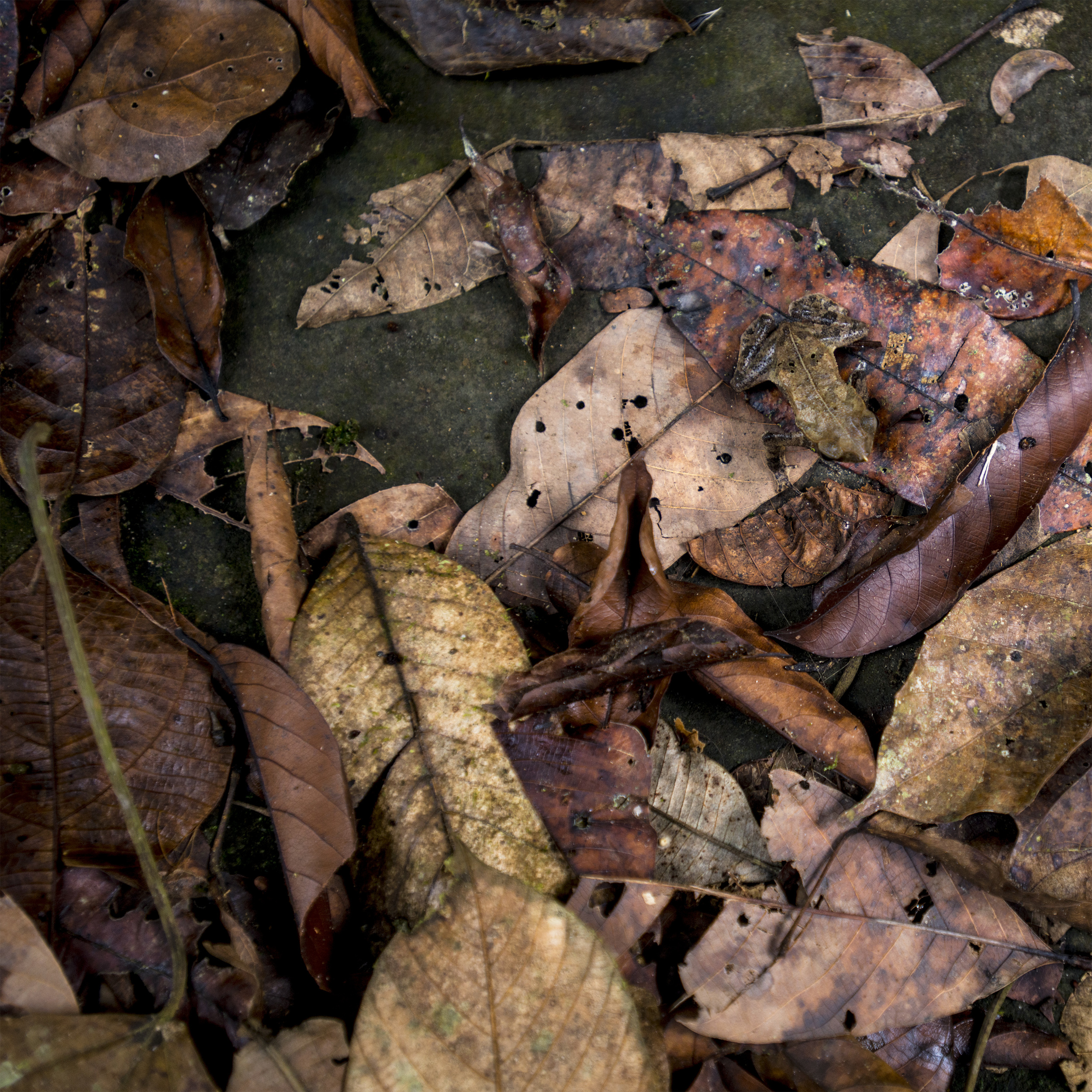 Leaf Mimicking Toad