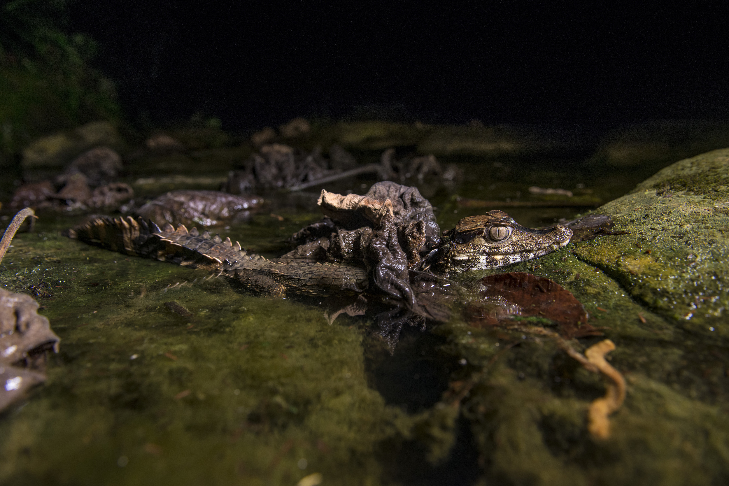 Mystery of the Caiman