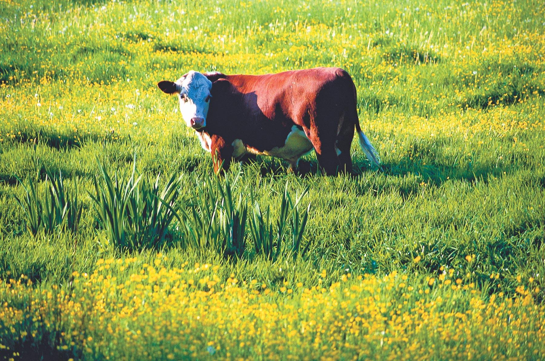 Bull in Field, Winson.JPG