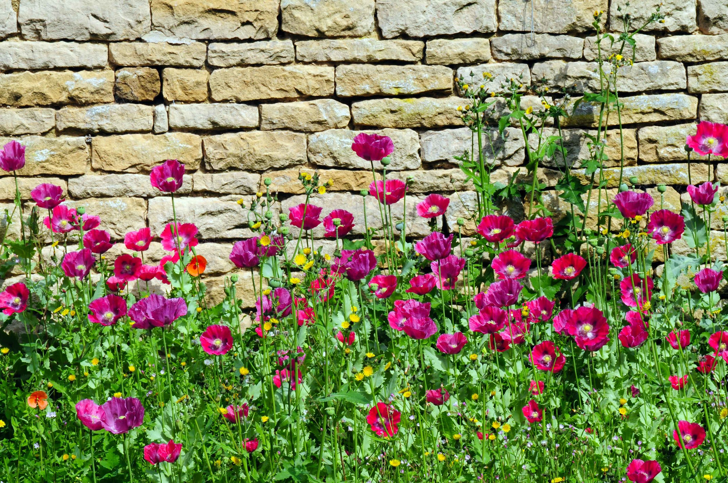 Poppies, Chastleton.jpg