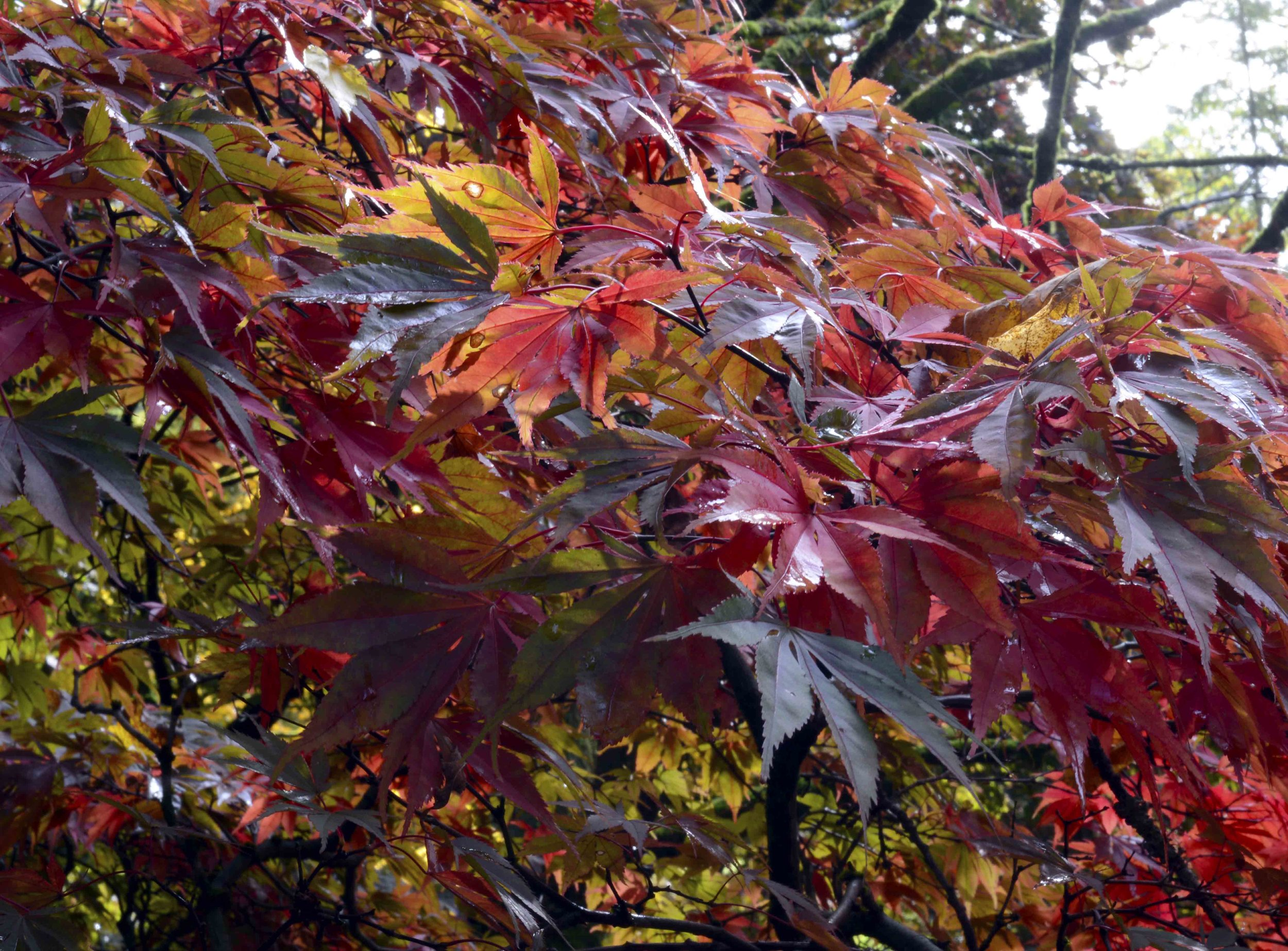 Close Bunch of Acer Leaves.jpg