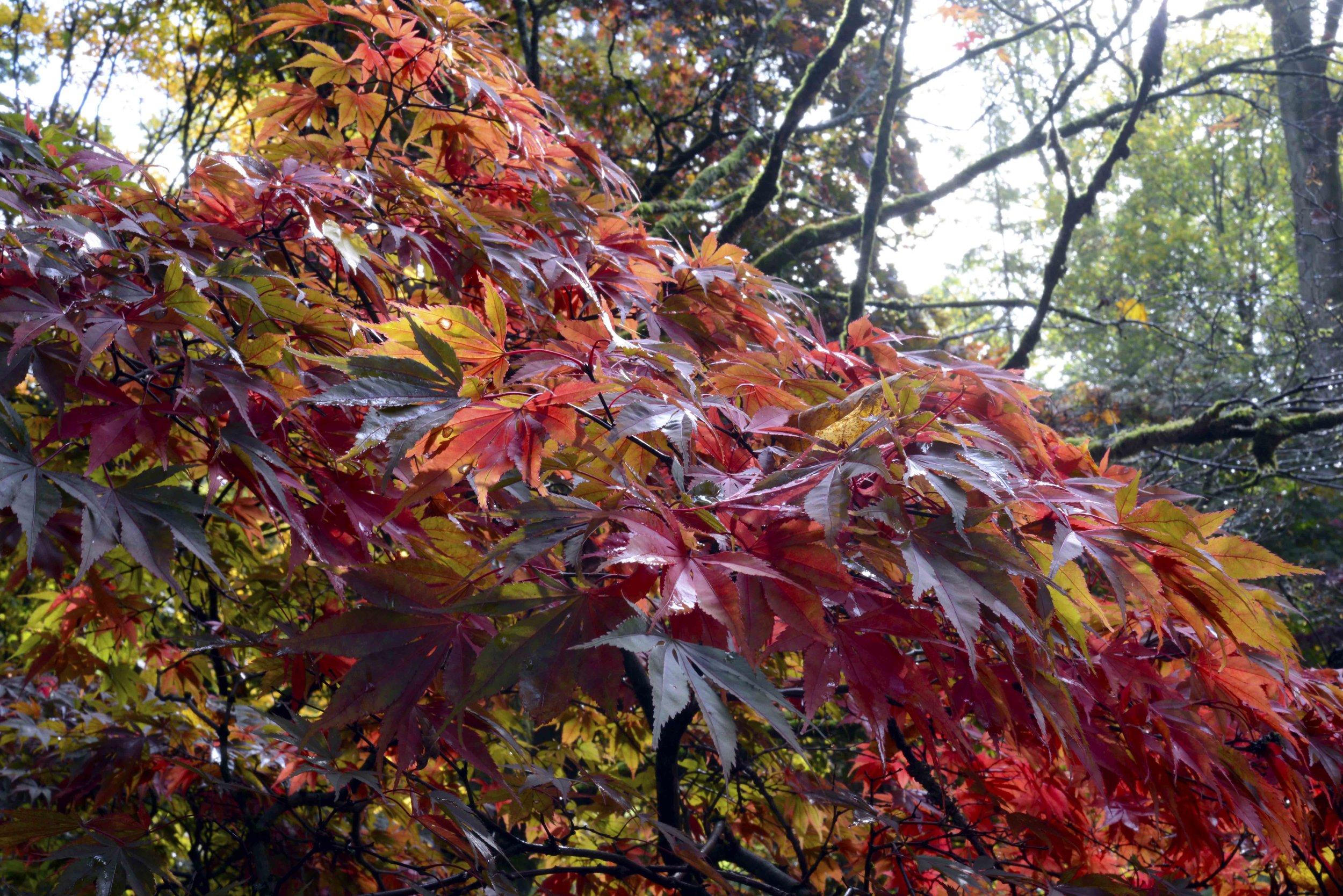 Bunch of Acer Leaves.jpg