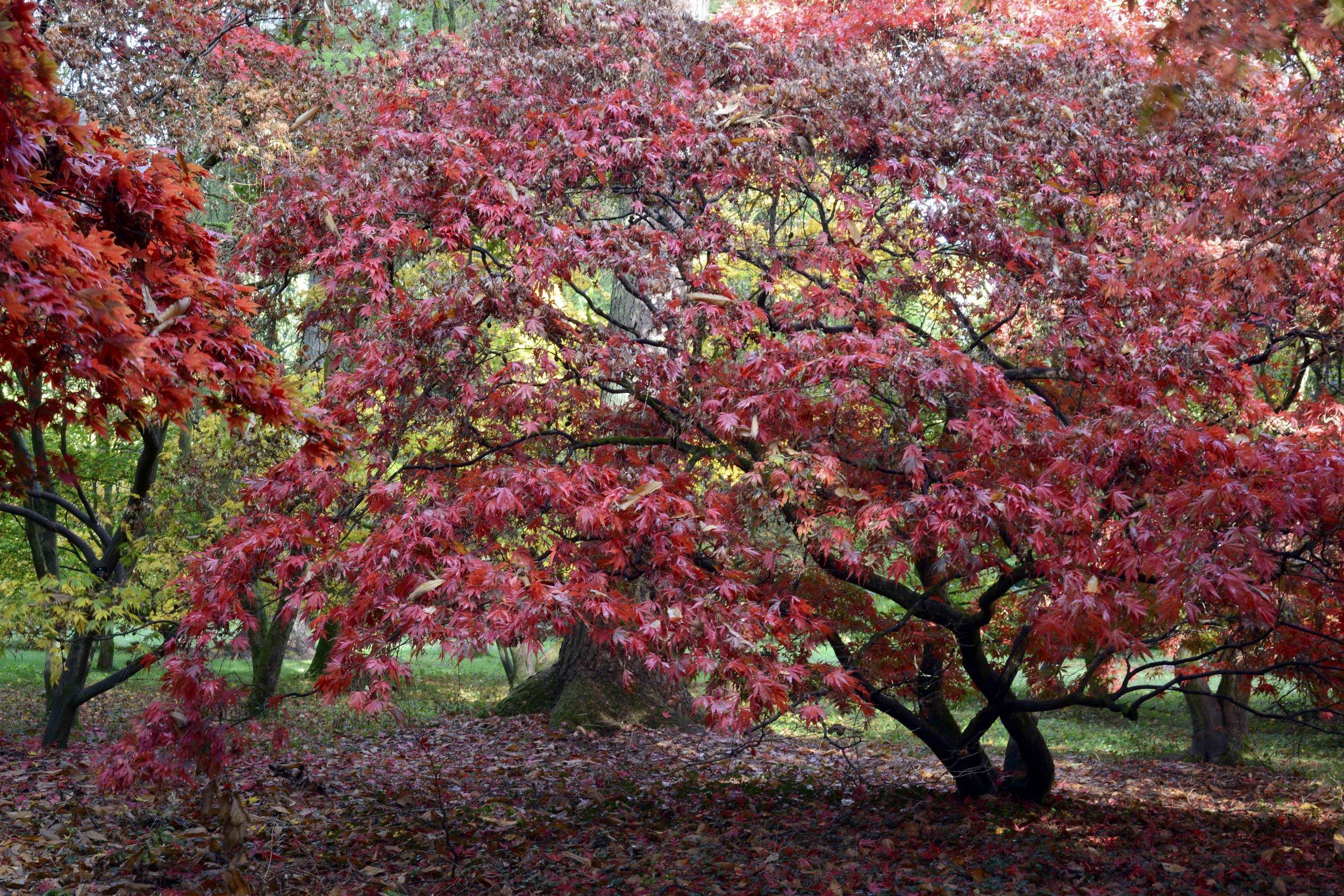 Red Acers.jpg