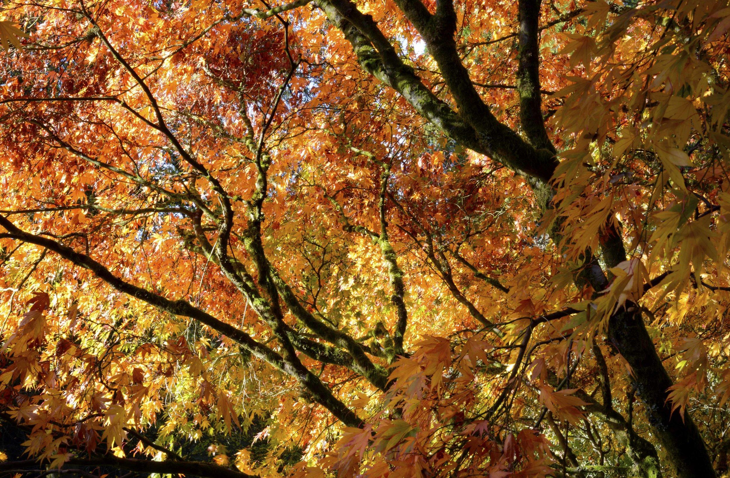 Yellow Acers.jpg