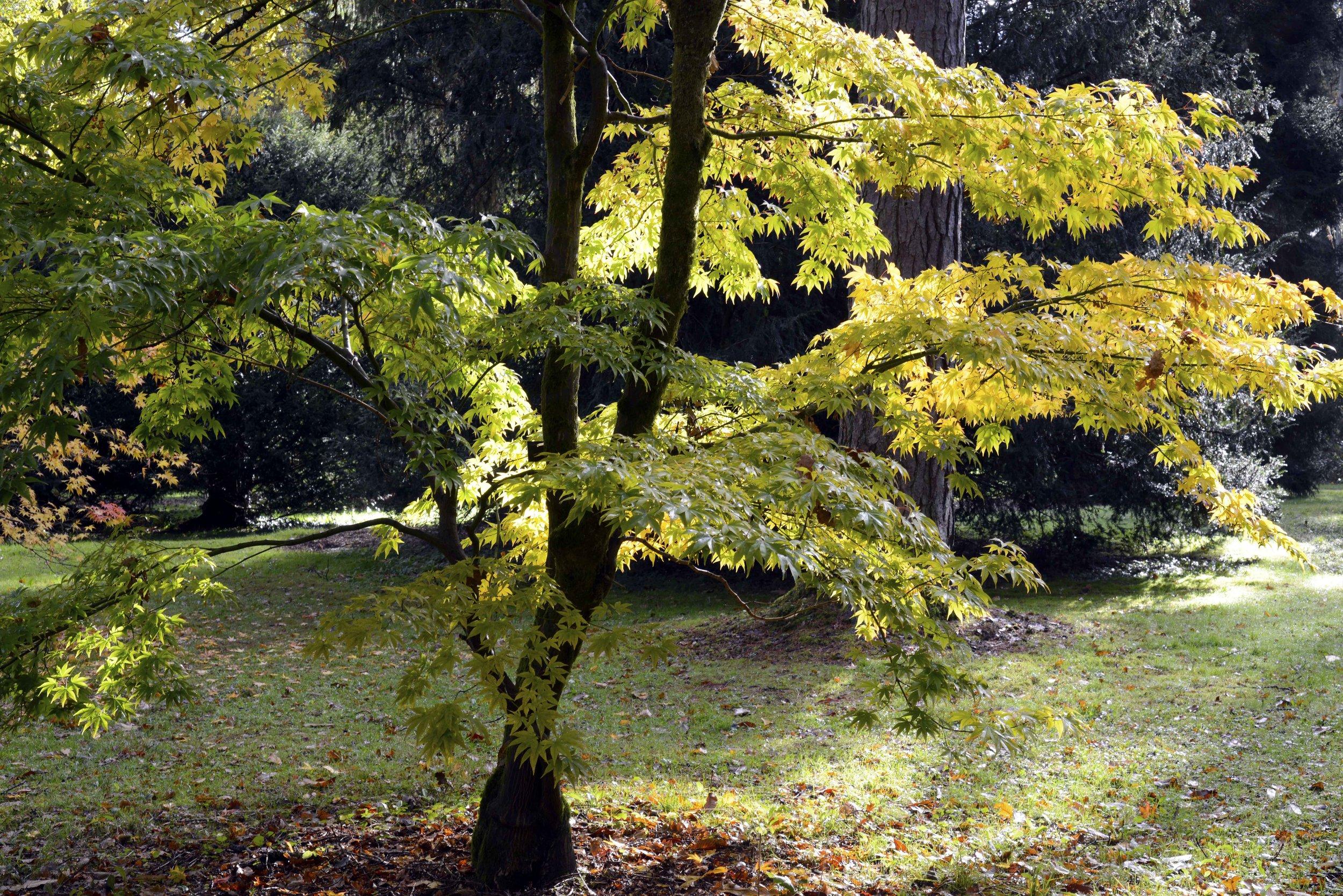 Yellow Acer.jpg