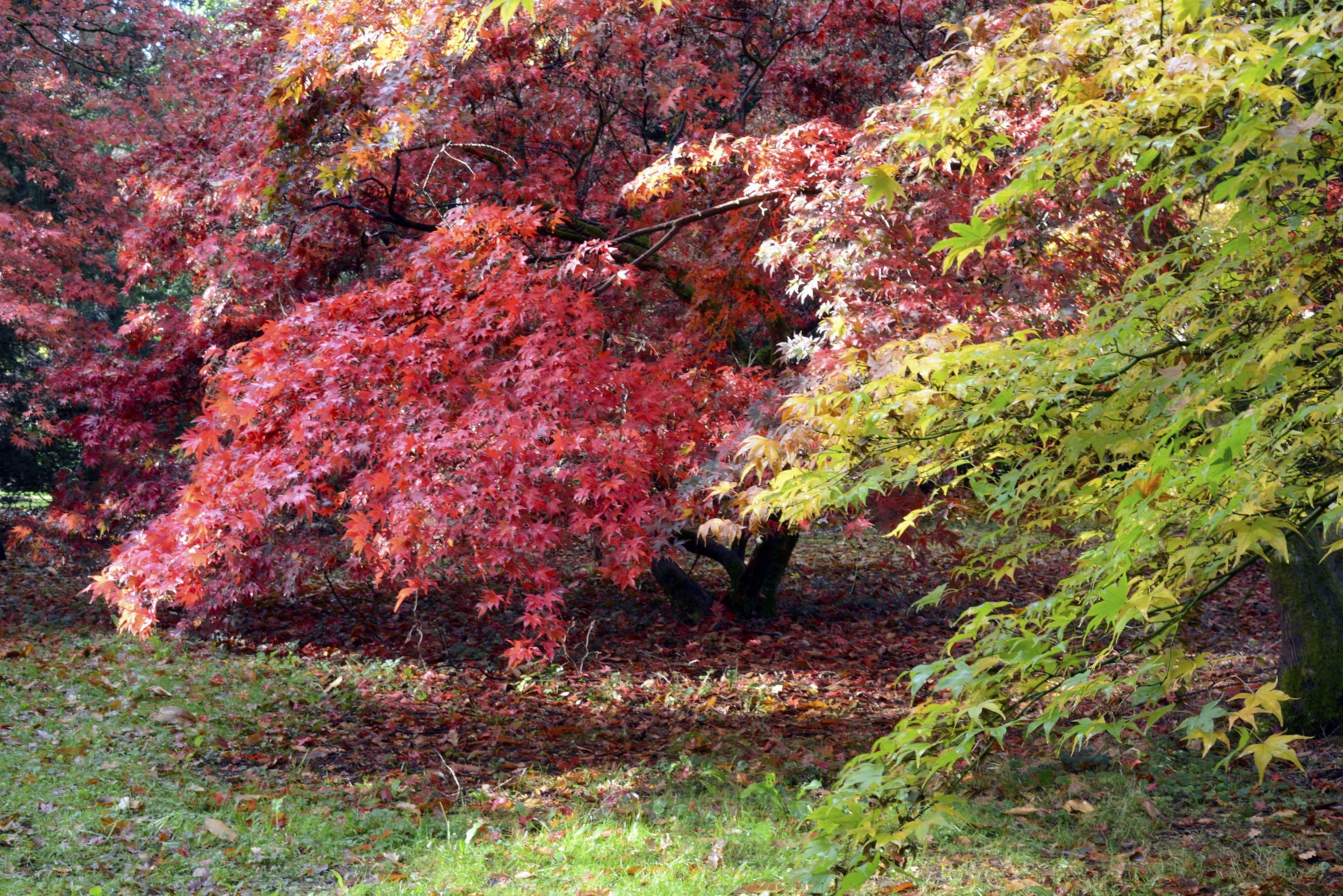 Yellow and Red Acers.jpg