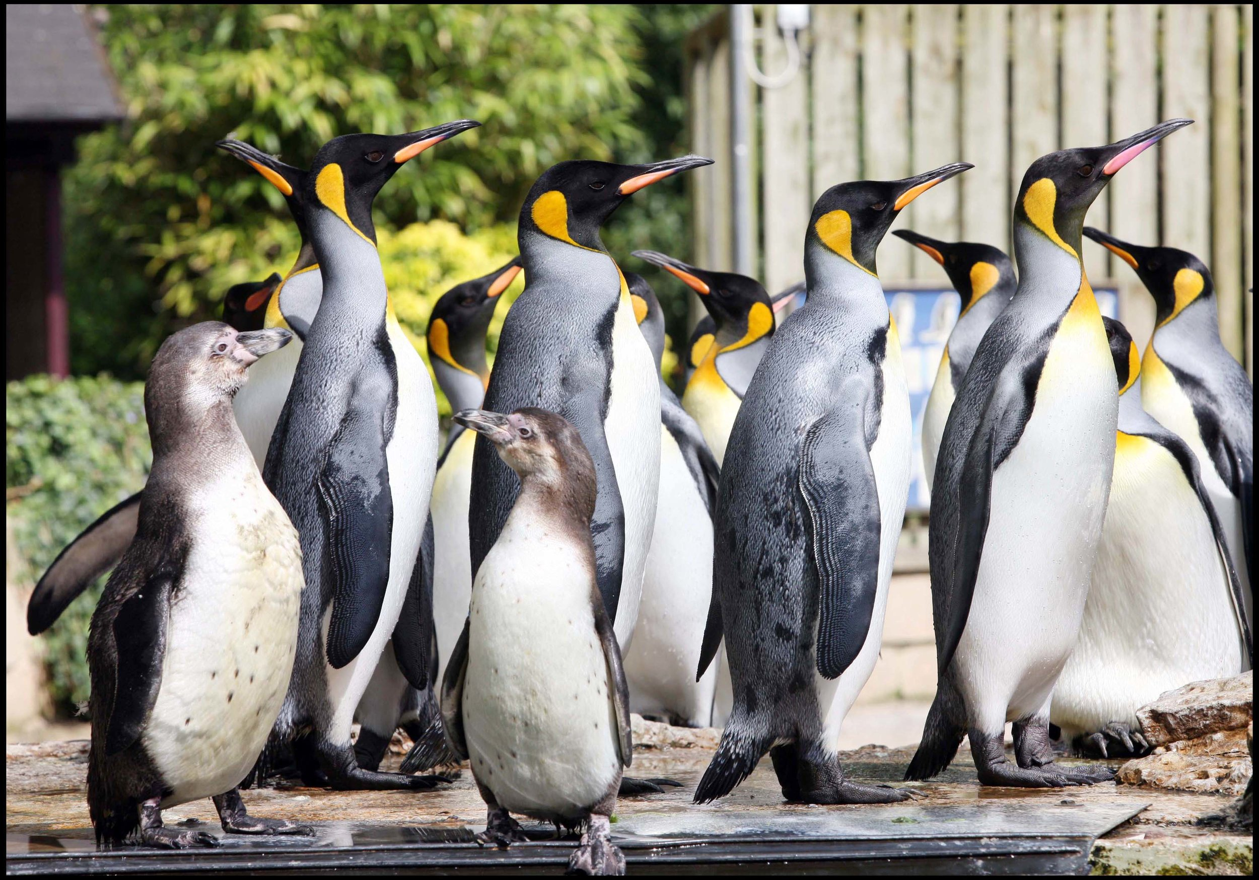 Birdland Penguin Shore Humboldts & King Penguins.jpg