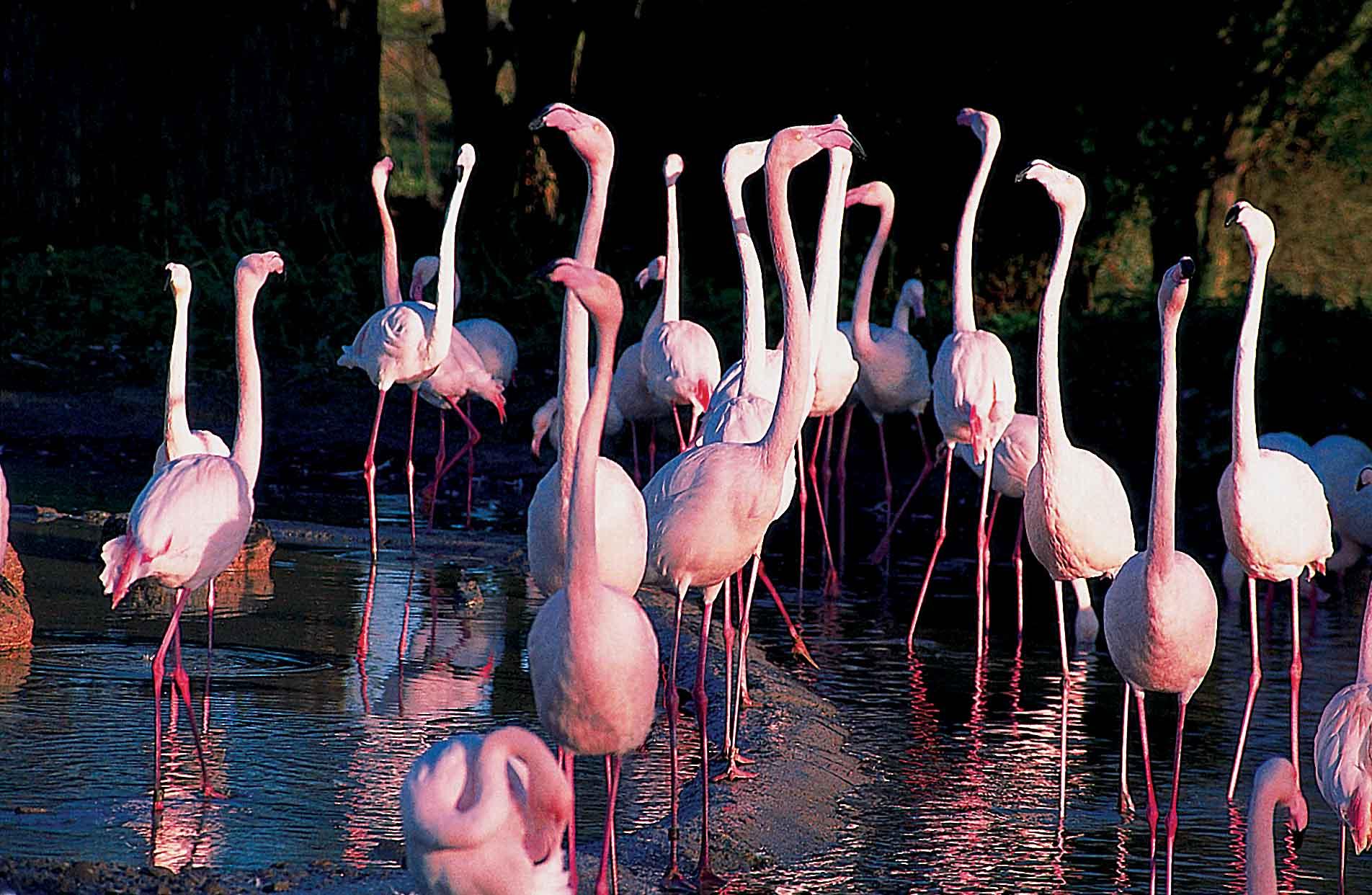Flamingos, Wildfowl & Wetlands Trust, Slimbridge, Glos 01.jpg