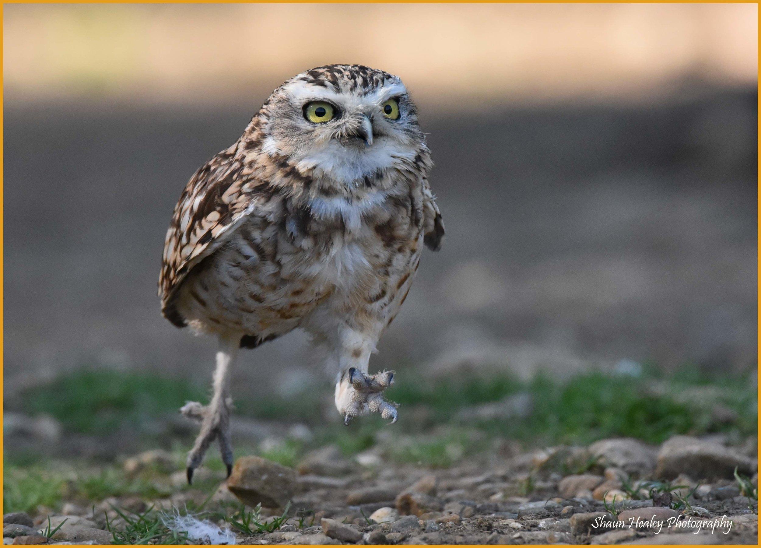 Burrowing Owl (6).jpg