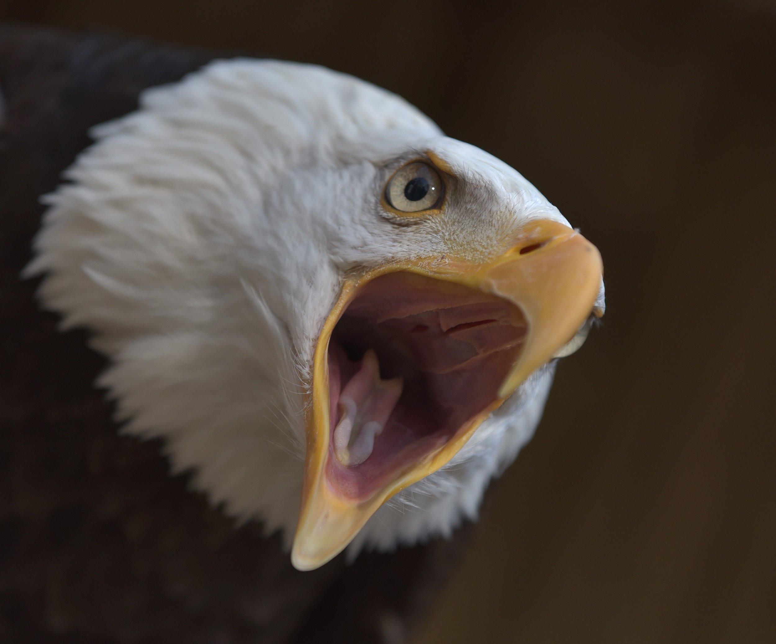 Bald Eagle (7).jpg
